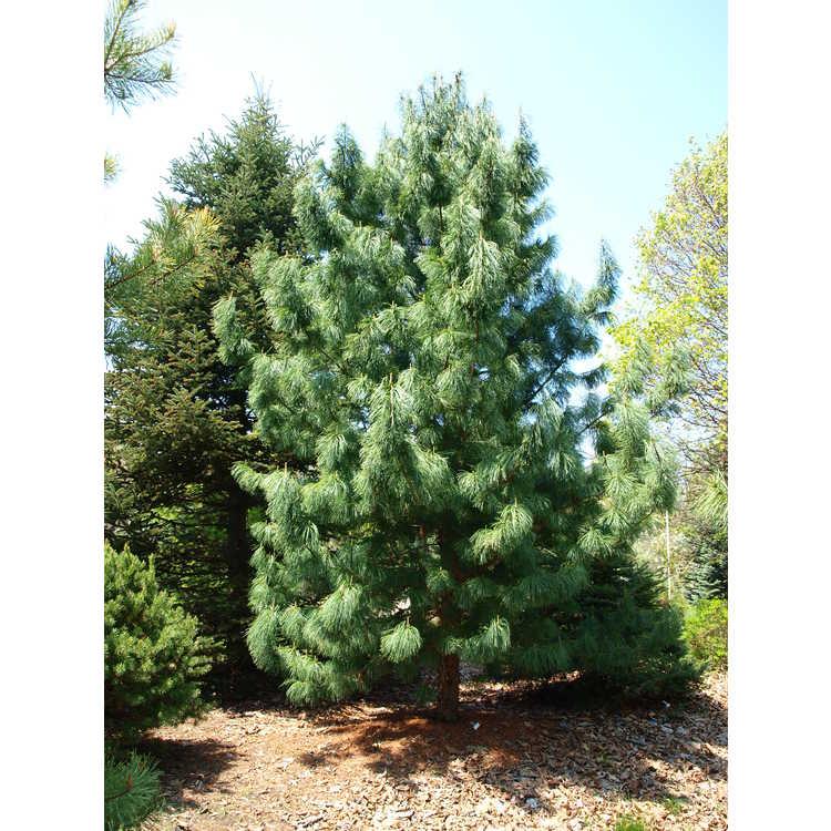 Pinus koraiensis 'Jack Corbit' - Korean pine