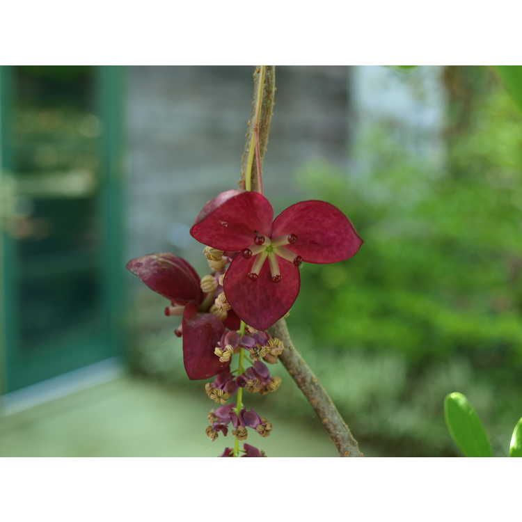 Akebia longeracemosa - chocolate vine