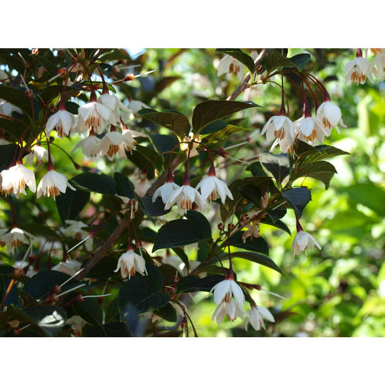 Styrax japonicus 'Evening Light' - purple leaf Japanese snowbell