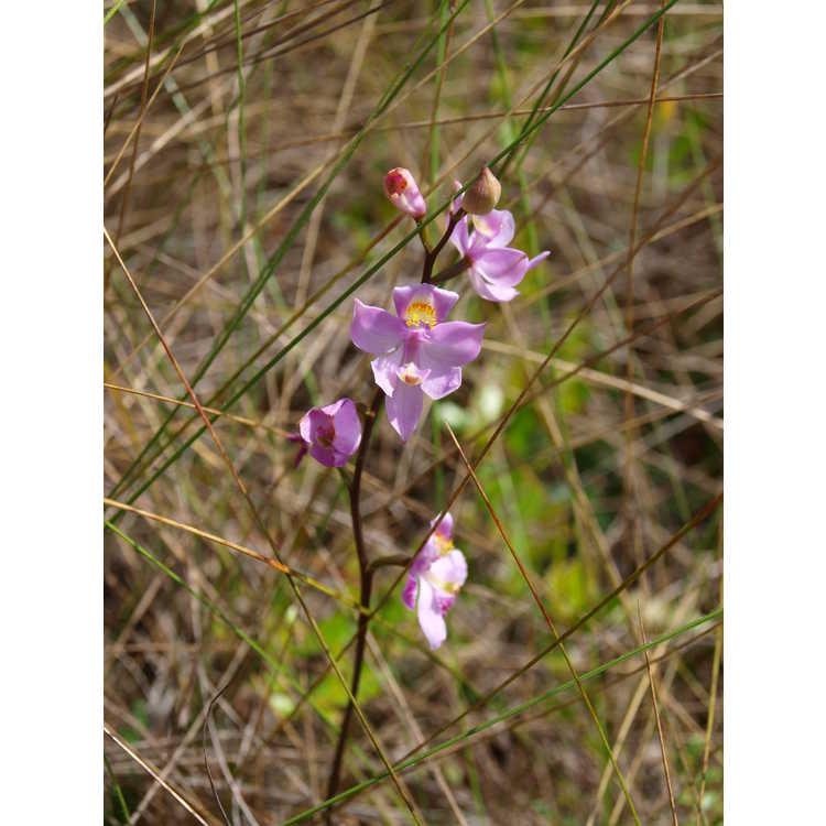 Calopogon tuberosus - tuberous grass pink orchid
