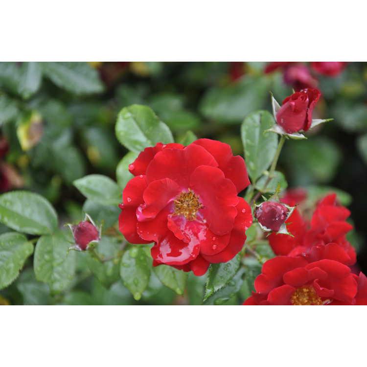 Rosa 'Sprothrive' - Thrive shrub rose