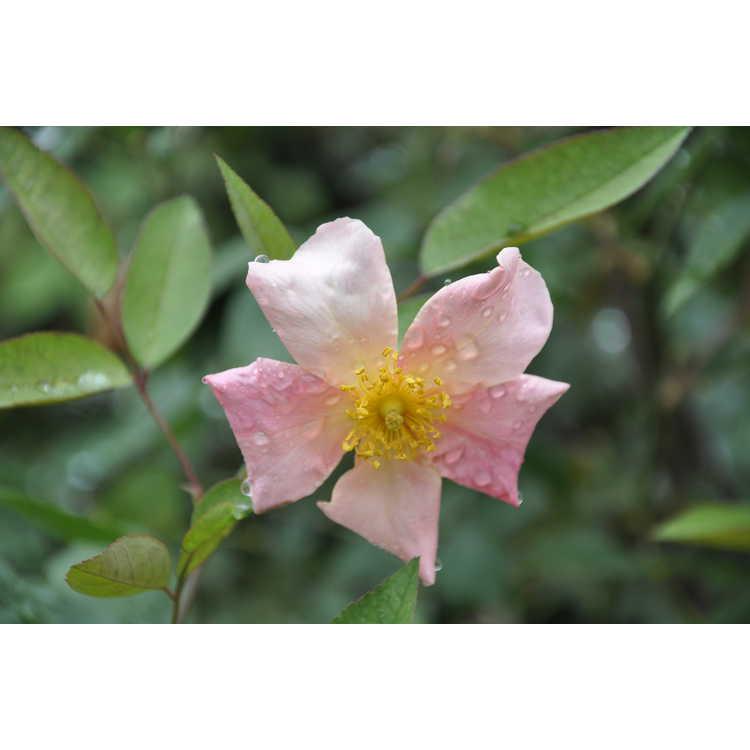 Rosa ×odorata 'Mutabilis'