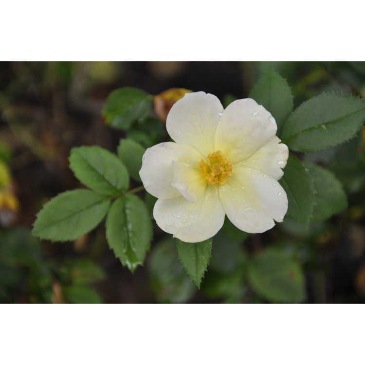 Rosa CP034131