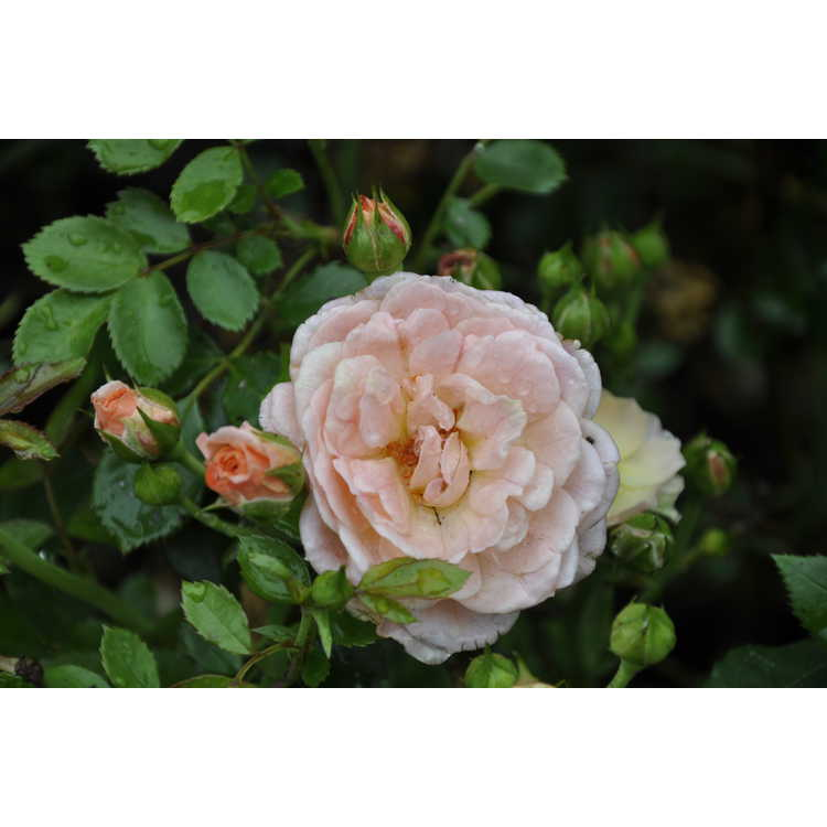 Rosa 'Meimirrot' - Apricot Drift ground cover rose