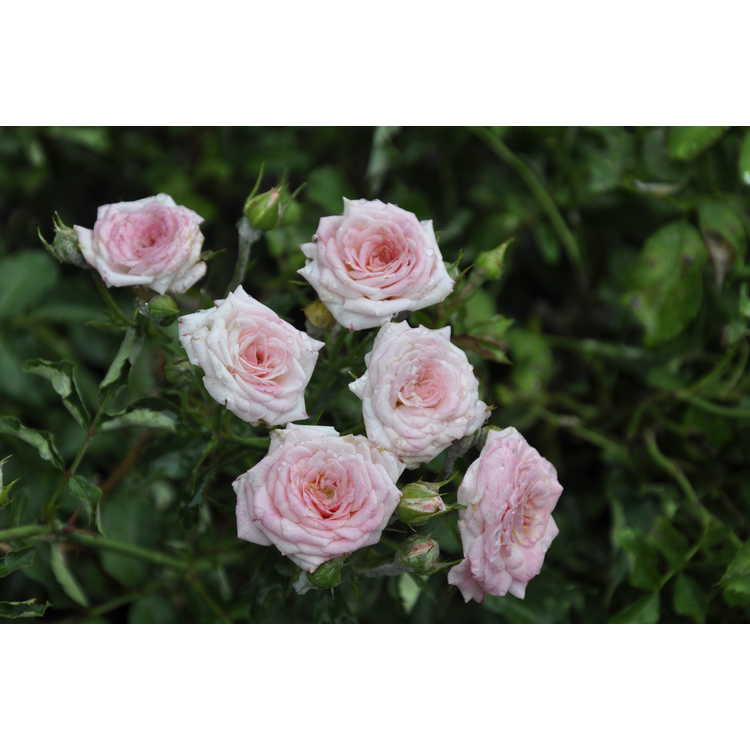 Rosa 'Meiswetdom'