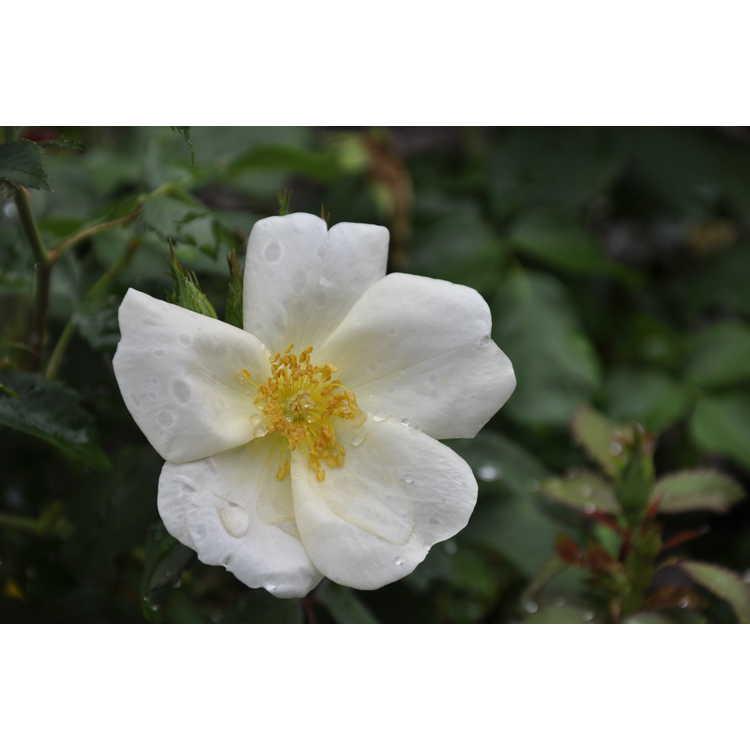Rosa Radwhite White Out