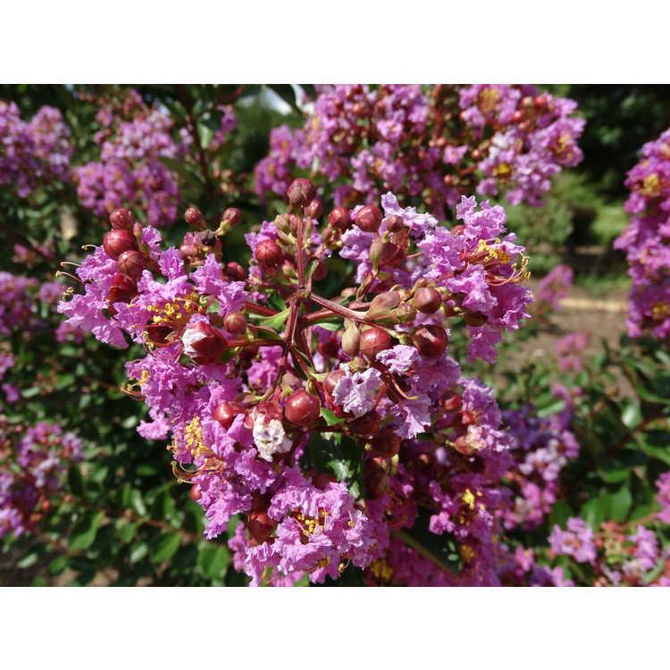 Lagerstroemia 'Jd827' - Early Bird Purple hybrid crepe myrtle