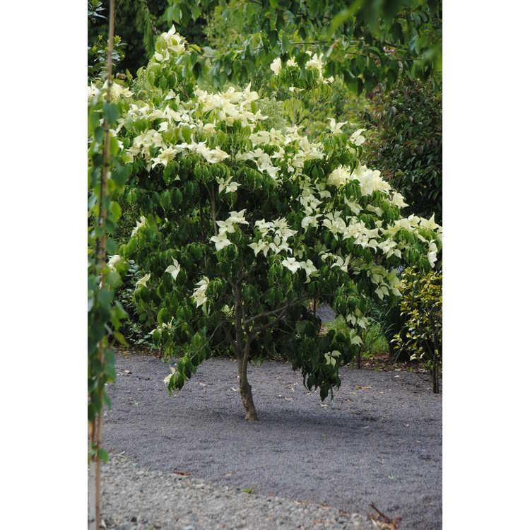 Cornus kousa 'Greensleeves' - Kousa dogwood