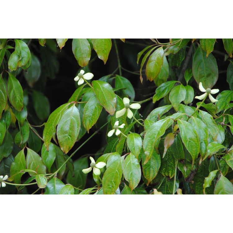 Cornus capitata subsp. emeiensis