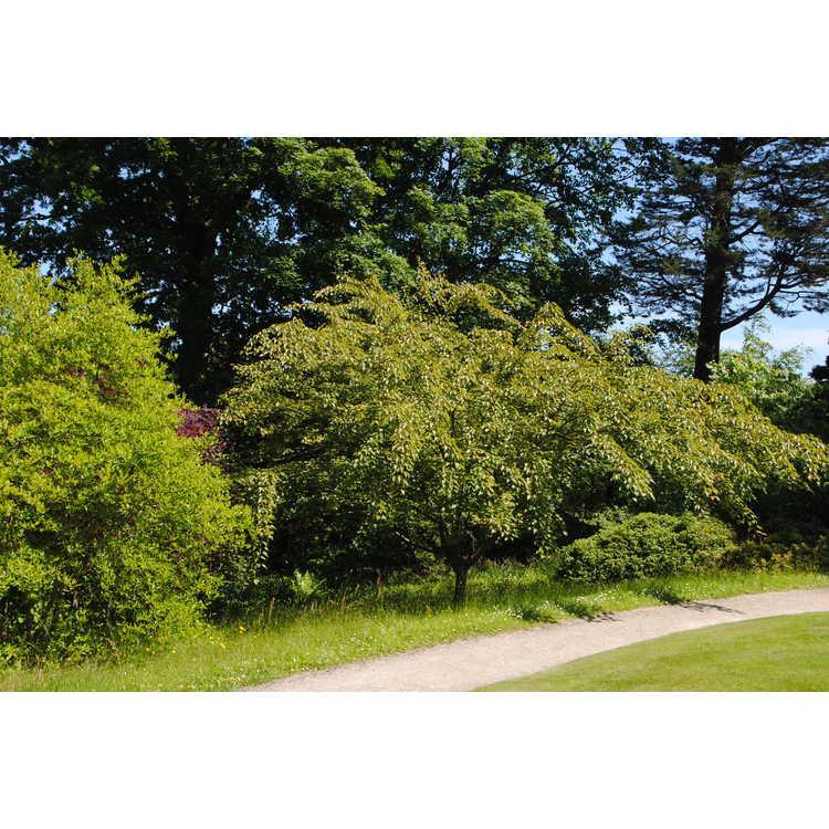 Acer caudatifolium