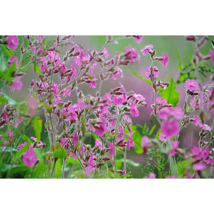 Silene dioica - red campion