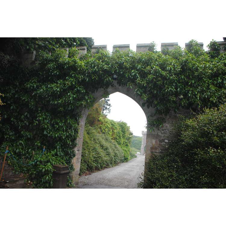 Hydrangea seemannii - evergreen hydrangea