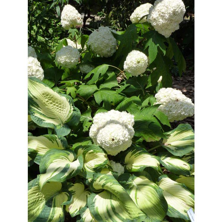 Hydrangea quercifolia Turkey Heaven