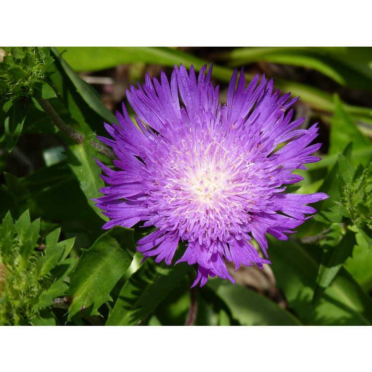 Stokesia laevis 'Honeysong Purple' - purple Stokes' aster