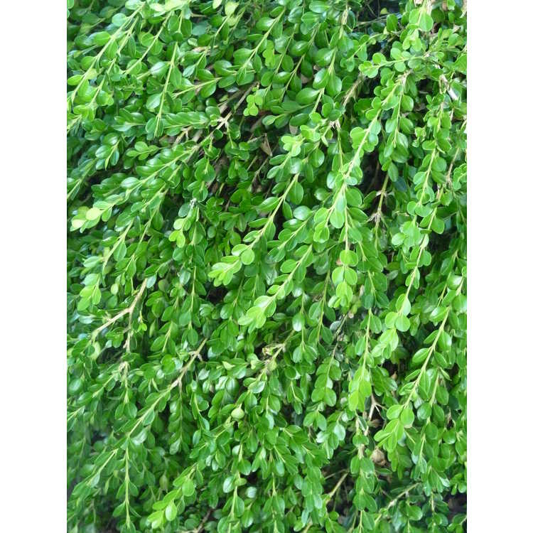 Buxus microphylla var. japonica 'Unraveled'