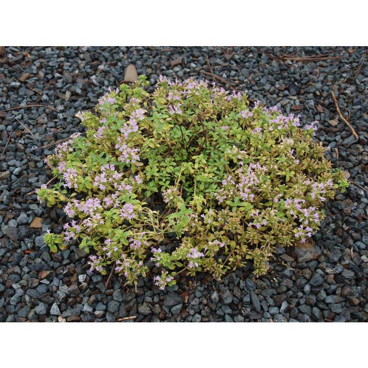 Thymus caespititius - dwarf thyme