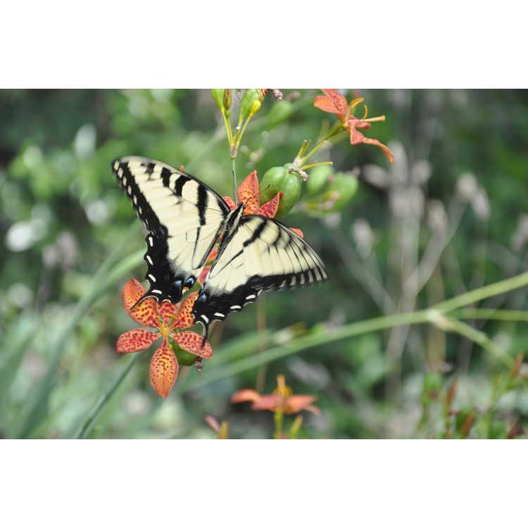 Iris domestica - blackberry lily