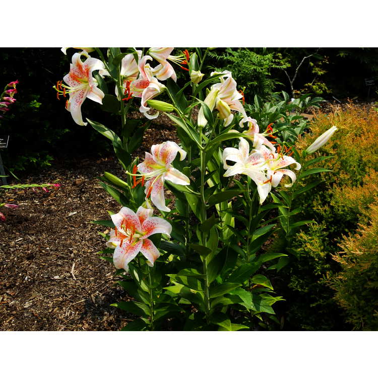 Lilium 'Salmon Star' - oriental lily