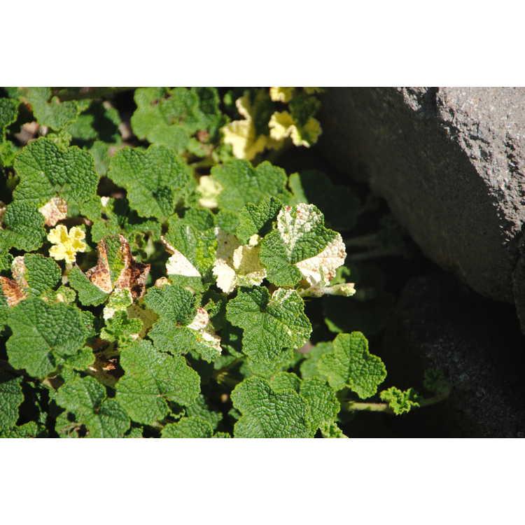 Rubus rolfei 'Sonya's Parasol'