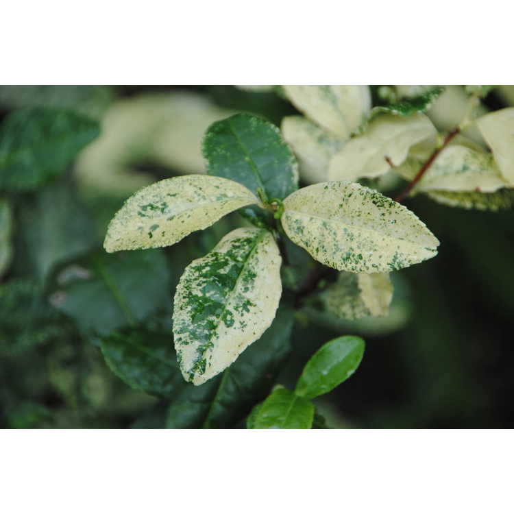 Camellia sinensis 'Silver Dust'