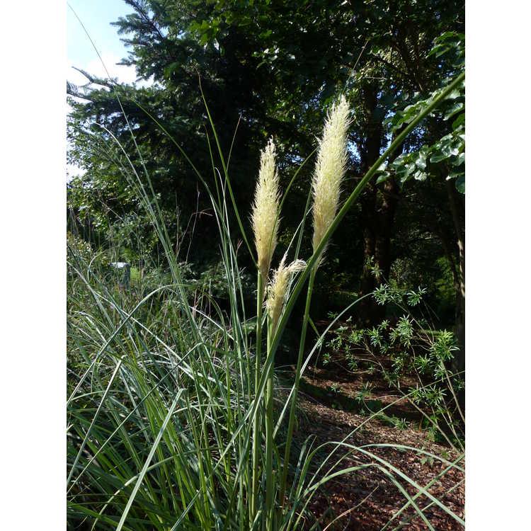 Cortaderia selloana 'Sunningdale Silver' - Pampas grass