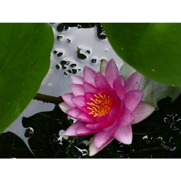 Nymphaea 'Attraction' - hybrid water-lily