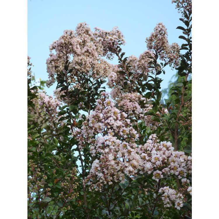 Lagerstroemia indica Whit VI Burgundy Cotton