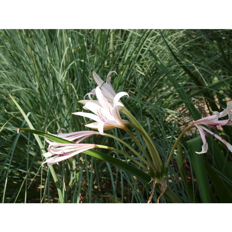 Crinum ×eboracii 'Twelve Apostles' - crinum-lily