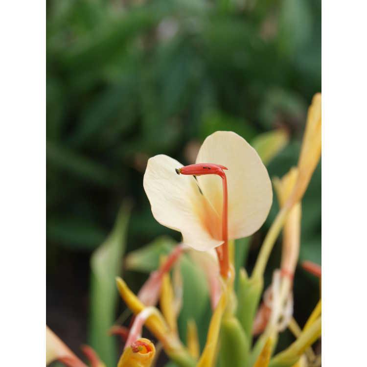 Hedychium 'Sherry Baby'