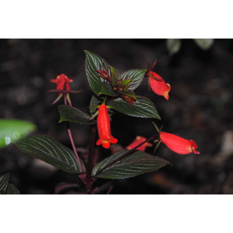 Seemannia 'Little Red' - hardy gloxinia