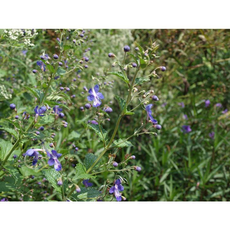 Caryopteris divaricata Blue Butterflies