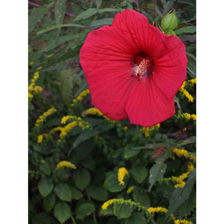 Hibiscus Fireball