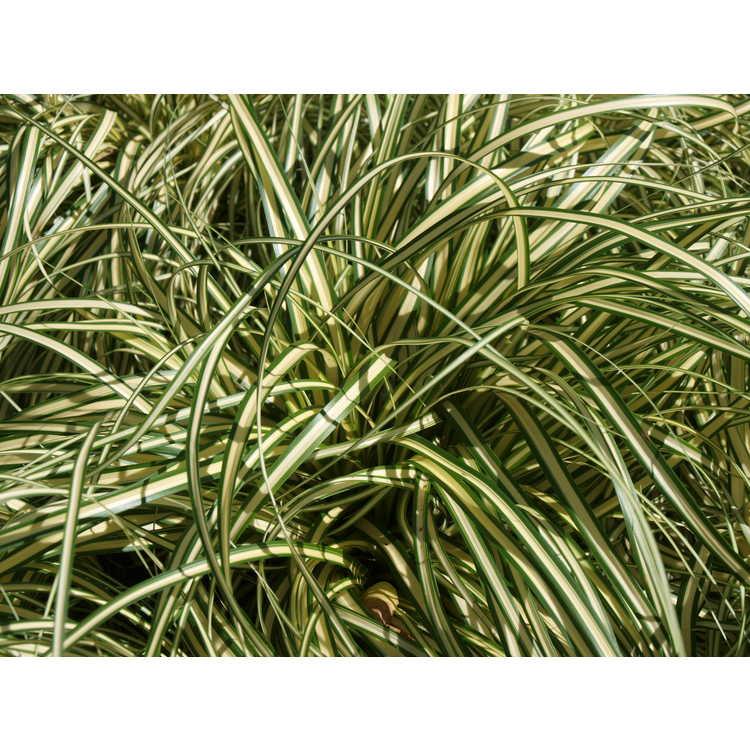 Carex oshimensis 'Evergold' - striped weeping sedge
