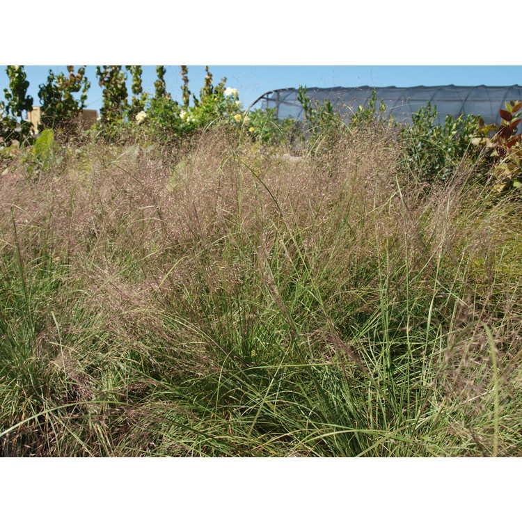 Muhlenbergia reverchonii Pund01s Undaunted