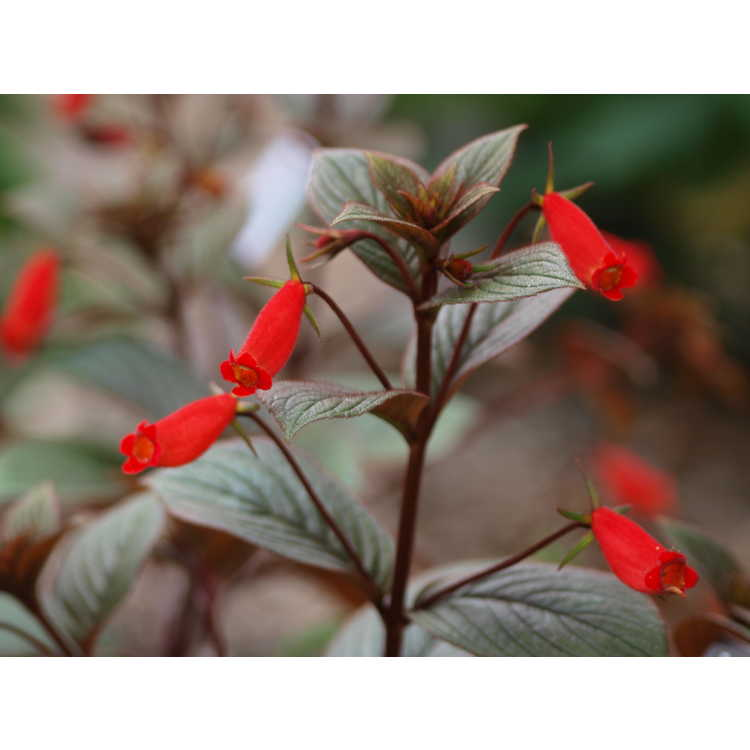 Seemannia 'Little Red'