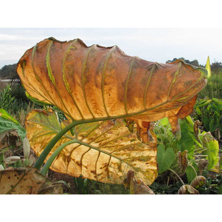 Colocasia gigantea (Thailand giant form) - super-sized elephant ear