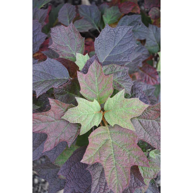 Hydrangea quercifolia 'Emerald Lake' - oakleaf hydrangea