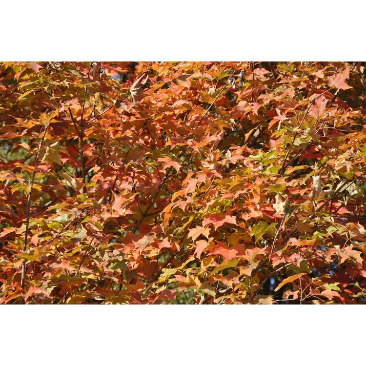 Acer saccharum 'Flax Mill Majesty' - sugar maple