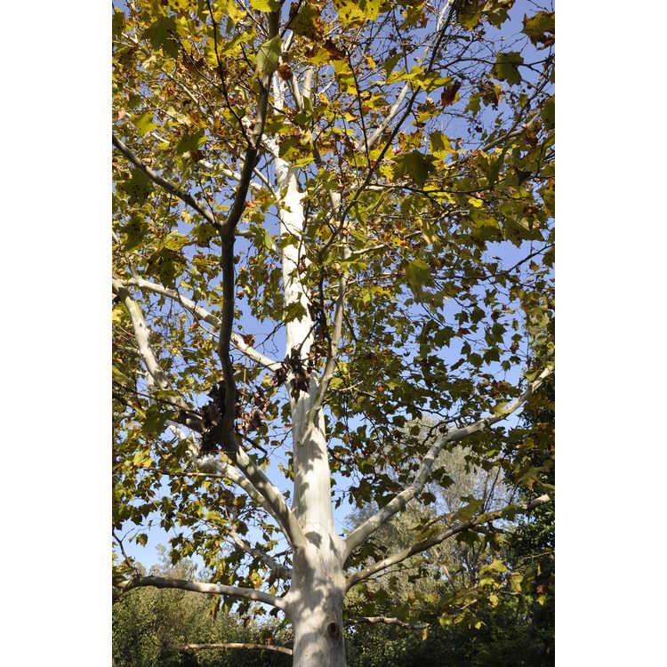 Platanus ×hispanica 'Suttneri'