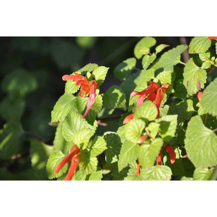 Salvia regla 'Jame' - mountain sage