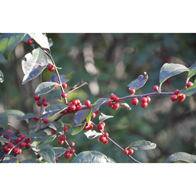 Ilex 'Carolina Cardinal' - hybrid winterberry holly