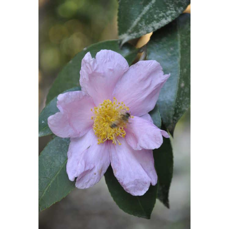 Camellia 'Carolina Moonmist' - Cochran hybrid camellia