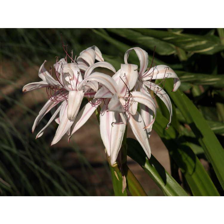 Crinum ×digweedii 'Mahon' - hybrid crinum-lily