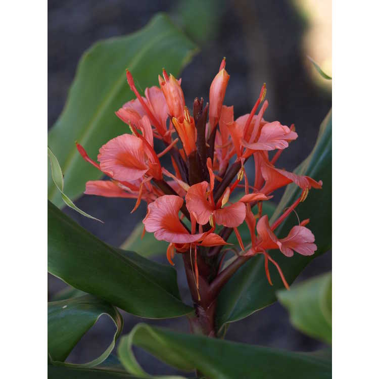 Hedychium rubrum - red ginger-lily