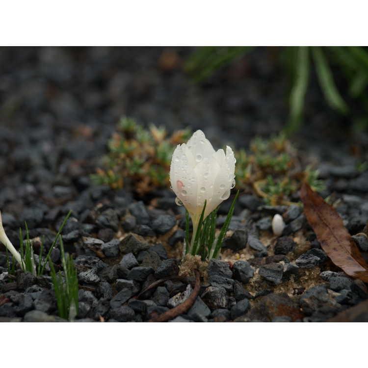 Crocus cartwrightianus 'Albus' - autumn-blooming crocus