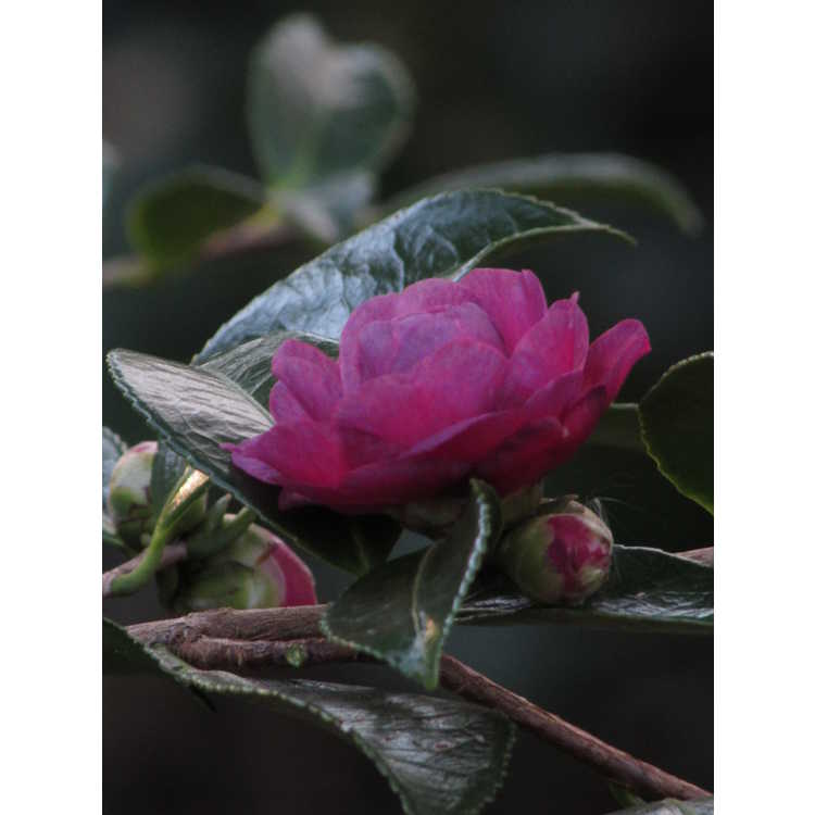 Camellia hiemalis Greens Blues