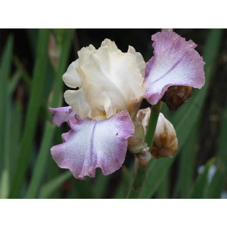 Iris 'Lilting'