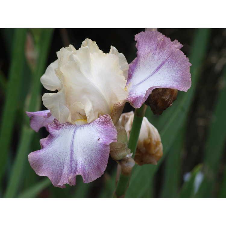 Iris Lilting