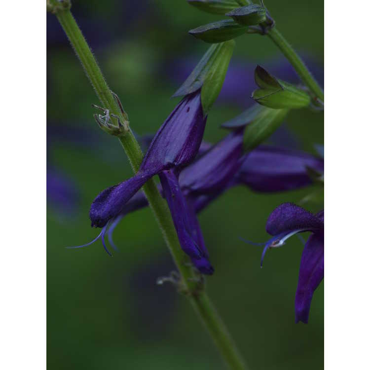 Salvia 'Jean's Purple Passion' - hybrid sage