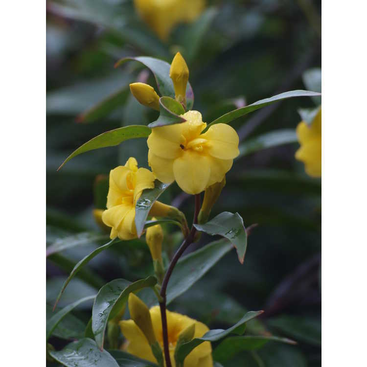 Gelsemium sempervirens 'Pride of Augusta' - double Carolina jessamine